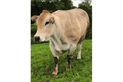 A photo of a cow produced by Daire Markham, owner of vetembryos.ie